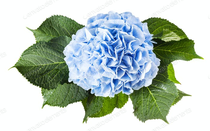 above view of fresh hortensia flower isolated