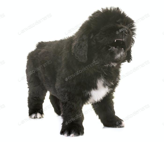 angry puppy newfoundland dog