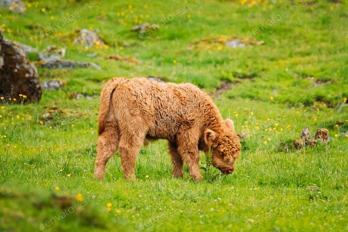 Hochland-Rindkühe weiden auf einer Sommerweide. Lustige schottische Rinderzucht Kalb Walking auf der Wiese