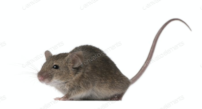 Wild mouse, in front of white background, studio shot