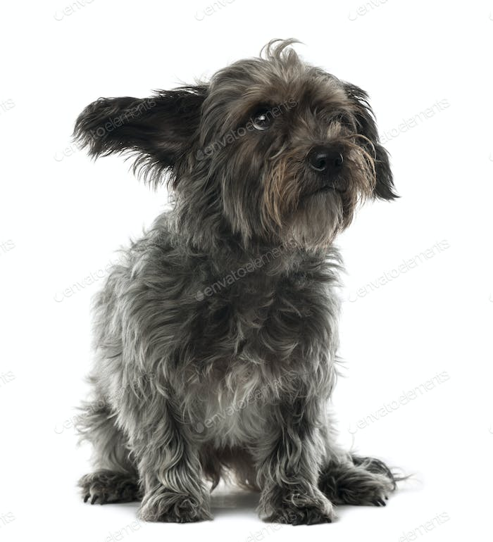 Thumbnail for Mixed-breed dog, 3 years old, sitting and looking away against white background