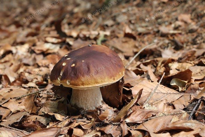 King boletus - edible mushroom