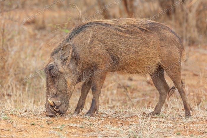 A Warthog in Kruger Park