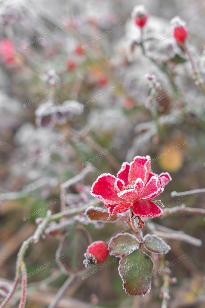 Frozen flowers in a winter day