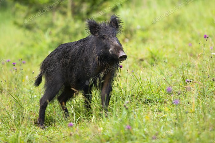 Wild boar standing on meadow in summertime nature
