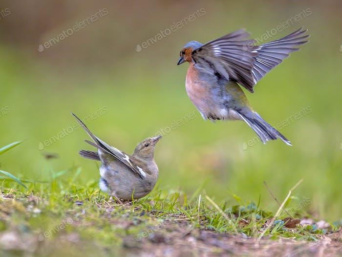 Paar Common Chaffinch auf Rasen