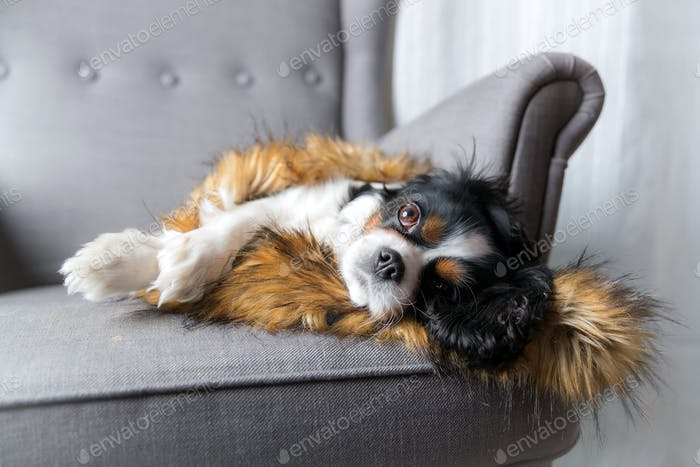 Dog resting on the armchair