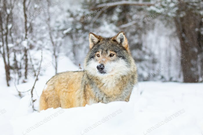 Beautiful wolf standing in the snow in beautiful winter forest