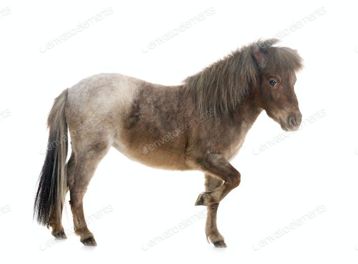 Falabella miniature horse