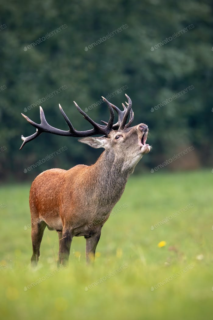 Bellowing red deer stag with huge dark antlers in rutting season