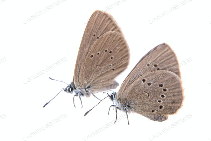 Dos mariposas marrones sobre Fondo negro