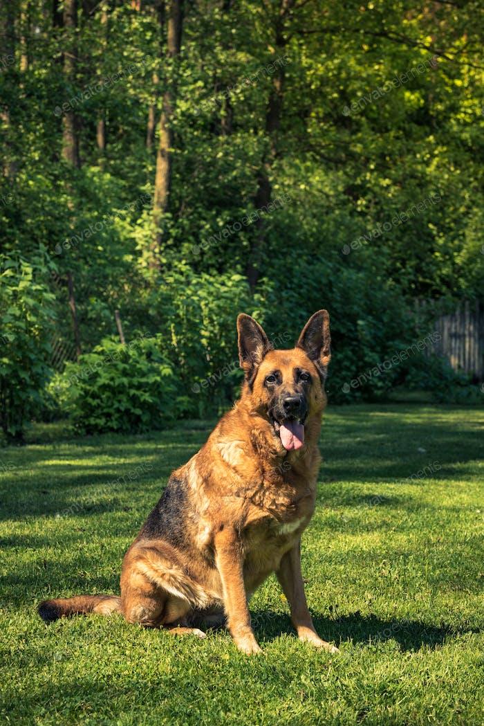 German shepherd dog sitting on grass