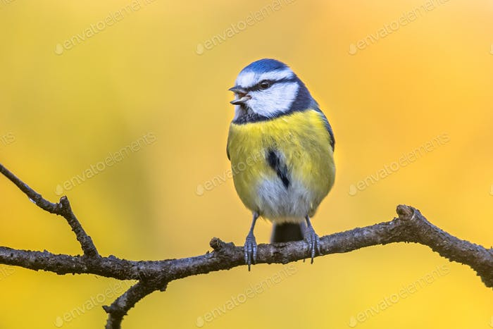 Blue tit in november background