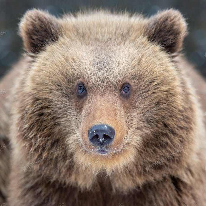 Close bear portrait