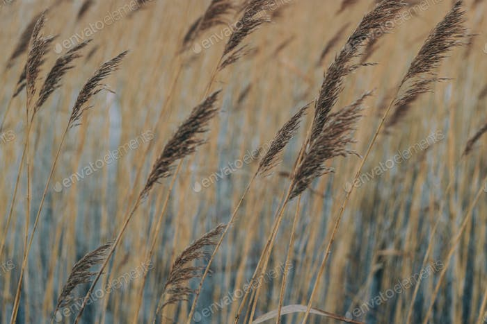 Reed in winter afternoon