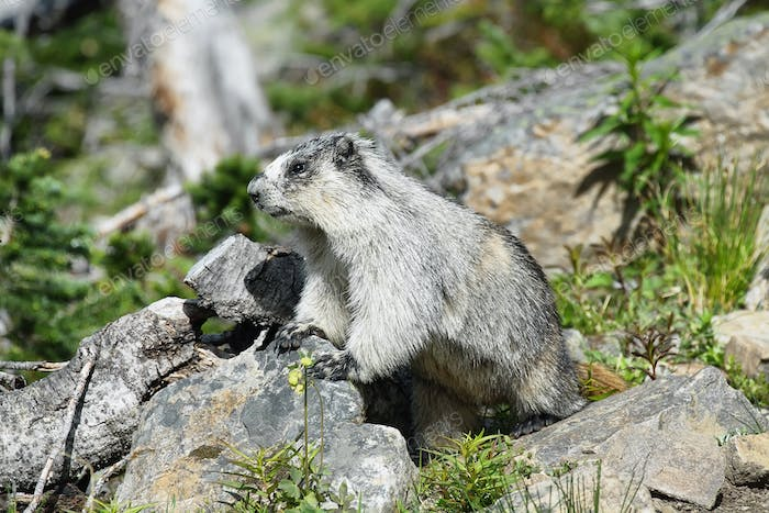 Cute marmot in Glacier national park, USA