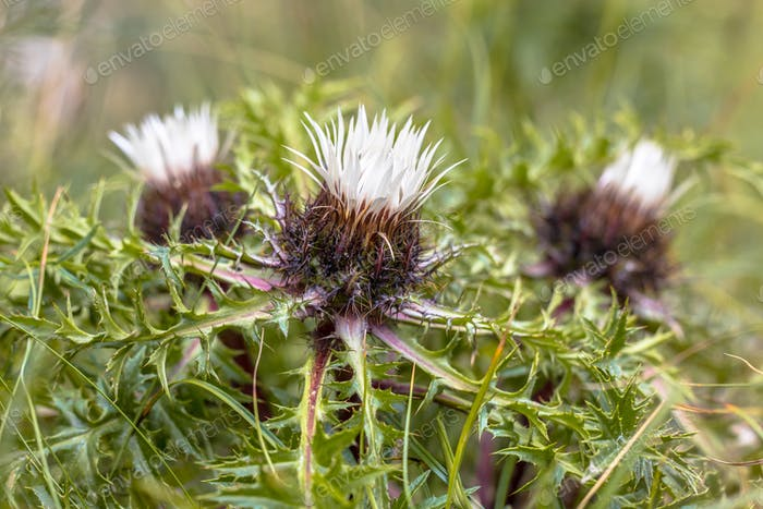 Silver thistle flowers