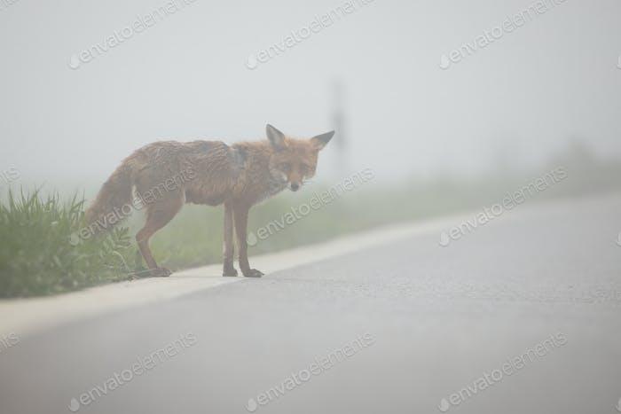 Wilder Rotfuchs versucht bei nebligem Wetter eine Straße zu überqueren