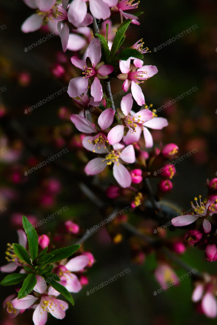 Blooming almond tree (Prunus dulcis) in the sun at spring