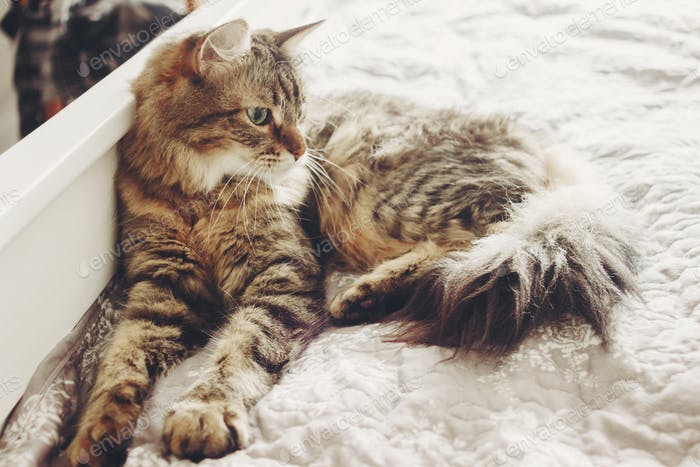 Beautiful tabby cat lying on bed and seriously looking with green eyes
