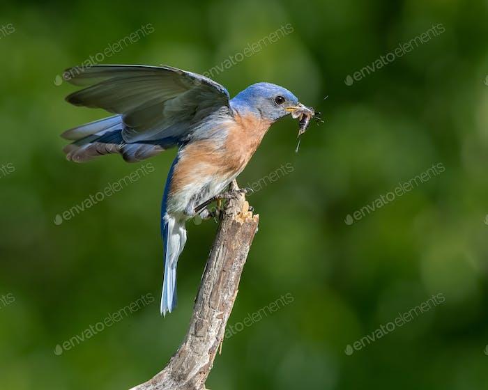Eastern Bluebird Fressen Insekt