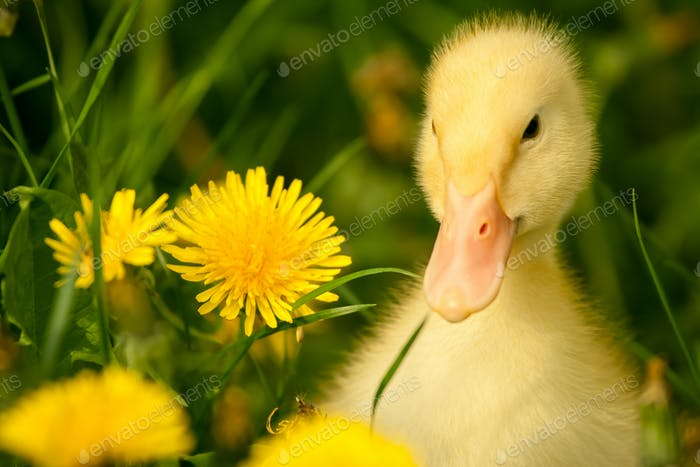Small duckling