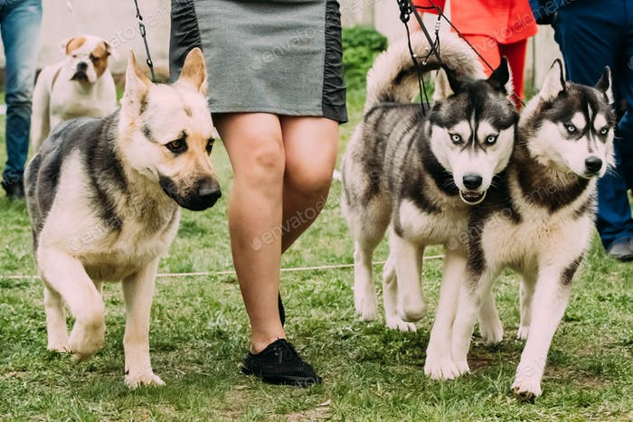 Alsatian Wolf Dog Or German Shepherd Dog And Two Husky Dog Runni