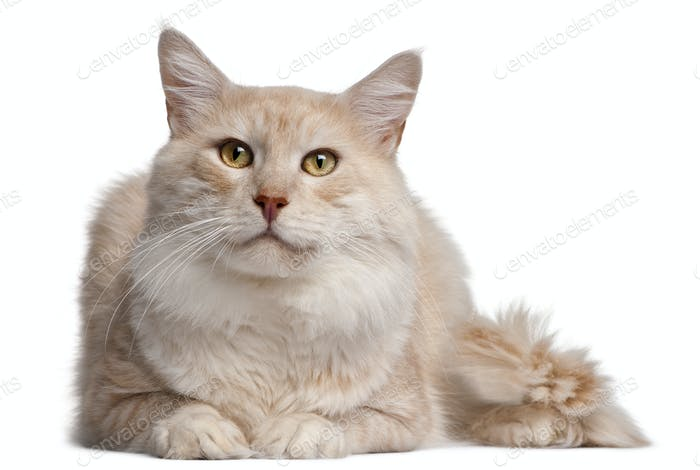 Maine Coon cat, 4 years old, in front of white background