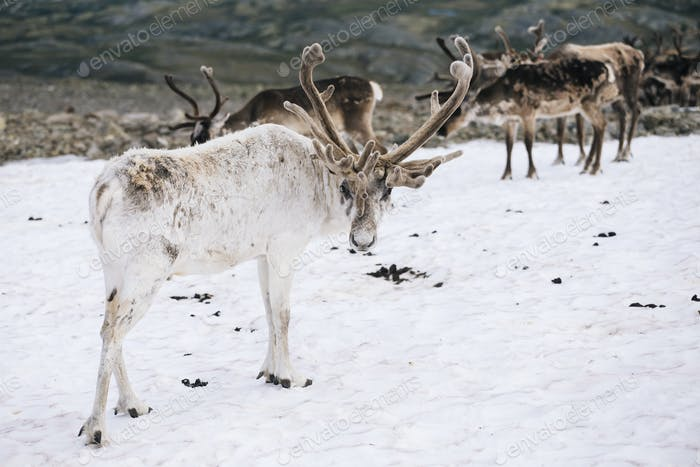 White Reindeer Stag in Snow