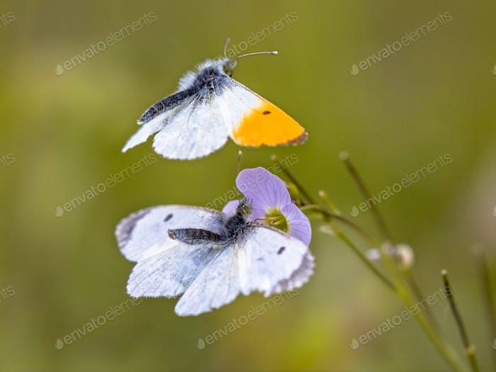 Orange tip butterflies mating