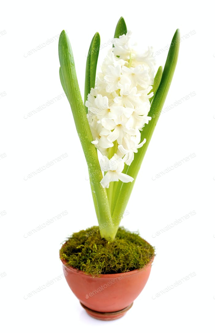 Beautiful white hyacinth on a white background