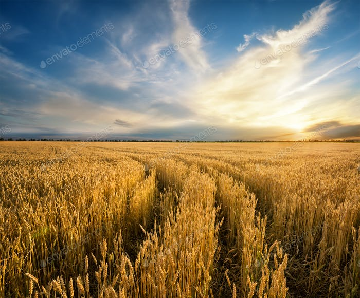 Weg zum Feld mit gelben reifen Weizenohren