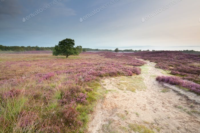 path through meadows with flowering heather