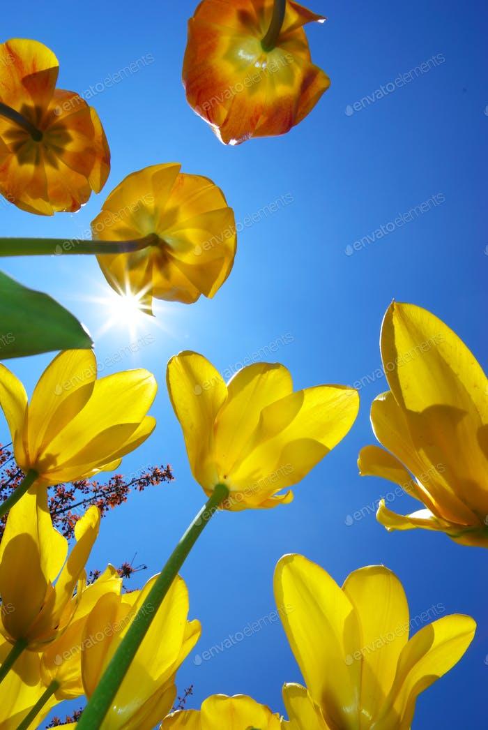 Tulips in sky