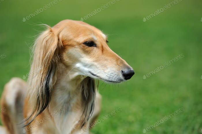 Borzoi dog in grass
