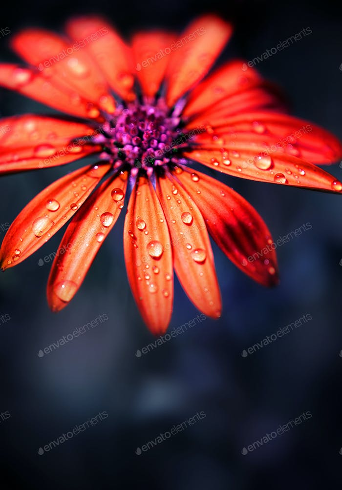 Red wet flower head