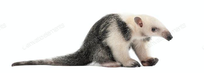 Tamandua, Tamandua tetradactyla, 3 months old, sitting against white background