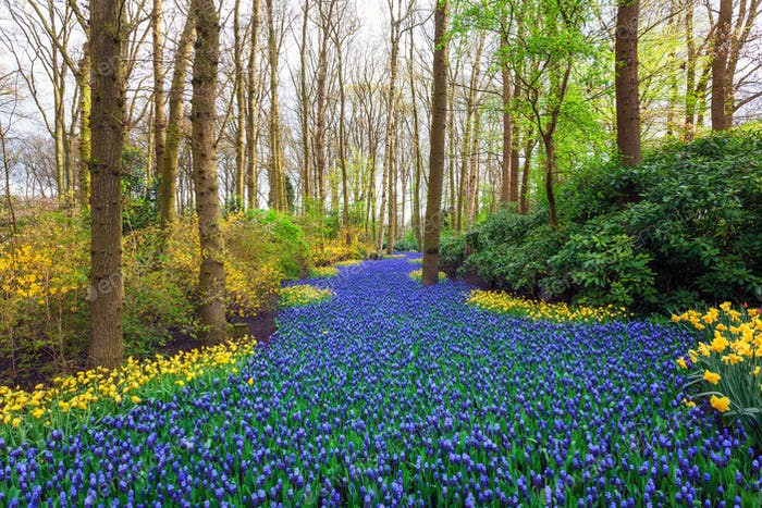 Landscape with beautiful blooming flowers in famous Keukenhof pa