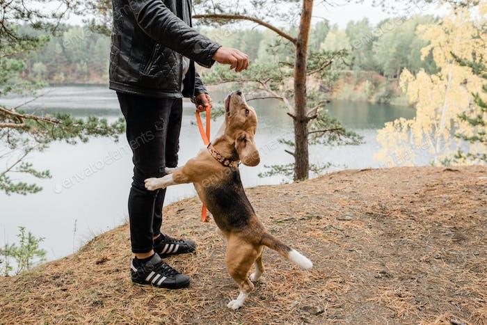 Junger Mann in Freizeitkleidung spielen mit niedlich lustig Beagle Welpen durch See
