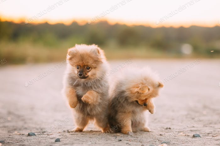 Two Young Happy White Puppies Pomeranian Spitz Dog Play Together