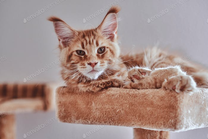Little sleepy maine coon kitten is lying on special cat's furniture.