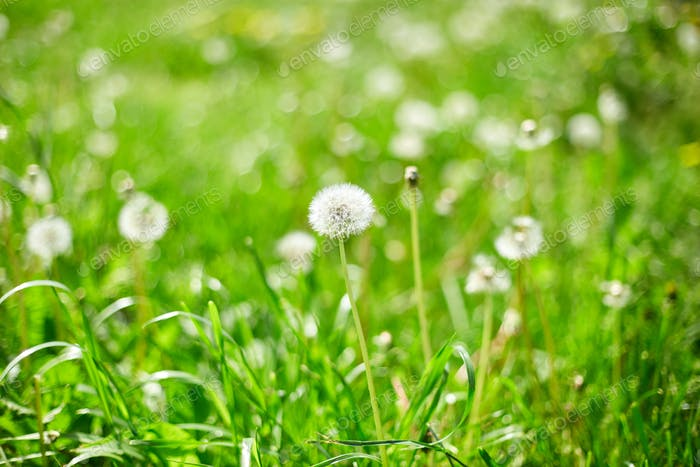 Dandelion field with fluffy dandelion flowers and green meadow grass