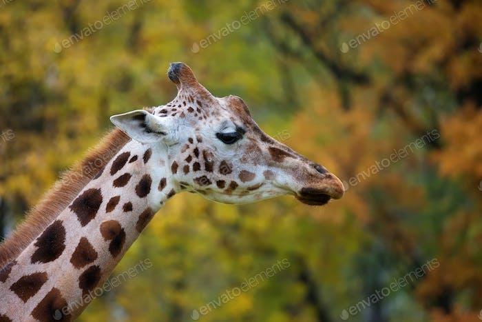 Giraffe, a portrait