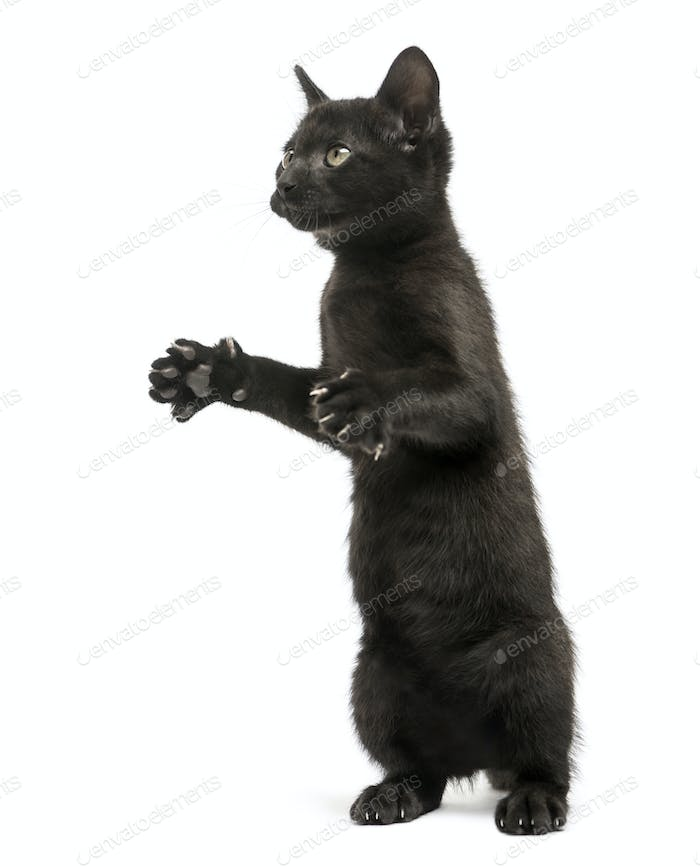 Black kitten standing on hind legs, playing, looking up, 2 months old, isolated on white