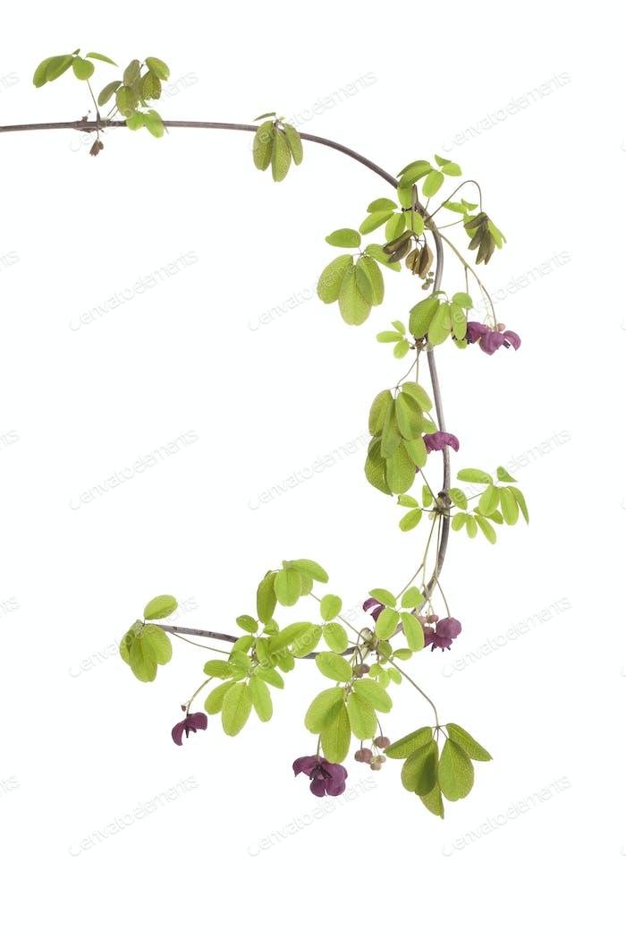 Twig of flowering Akebia