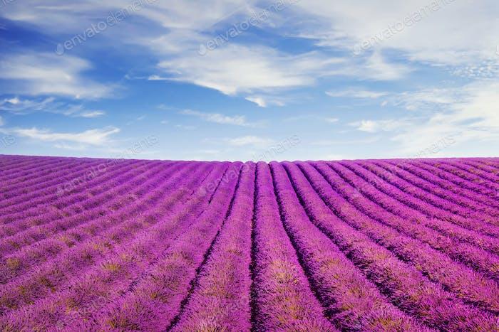 Lavendelblüten Felder Provence, Frankreich