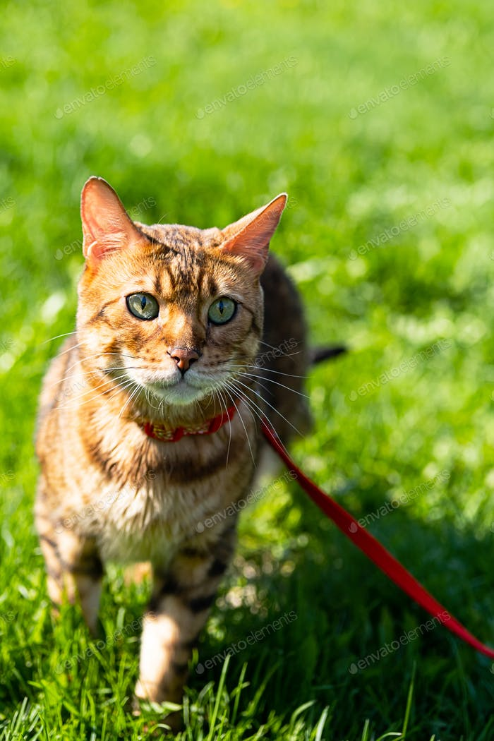 Bengal Cat with Leash Walking Around the Yard. Cute Cat in Harness on the Green Grass.