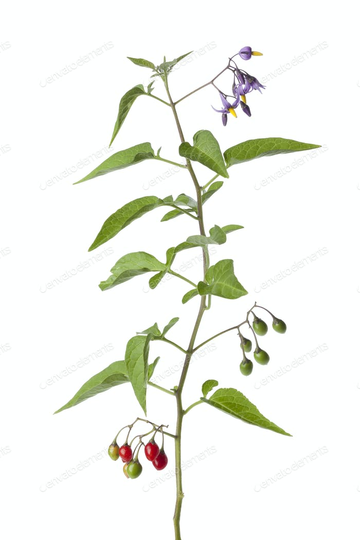 Bittersweet plant with flowers and berries