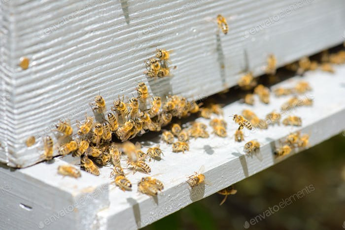colony of bees exiting a frame