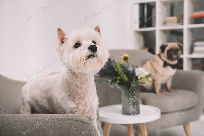 beautiful furry west highland white terrier standing on armchair